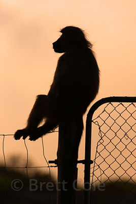 baboon-on-a-fence