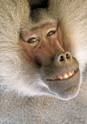 smiling-baboon
